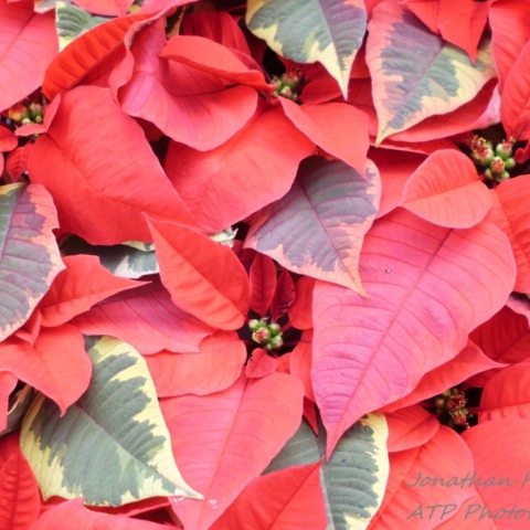 Poinsettia Number 1 by Jonathan Huggon