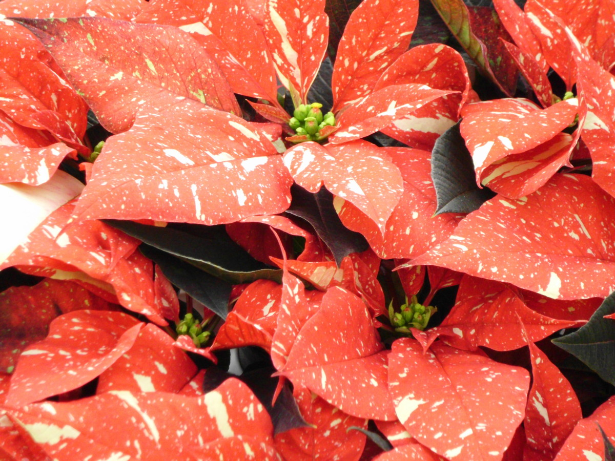 Poinsettias Speckled with Snow. Photo by Jonathan Huggon.