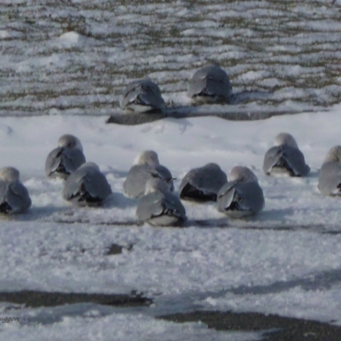 Seagulls on a Very Cold Day - Dartmouth, MA