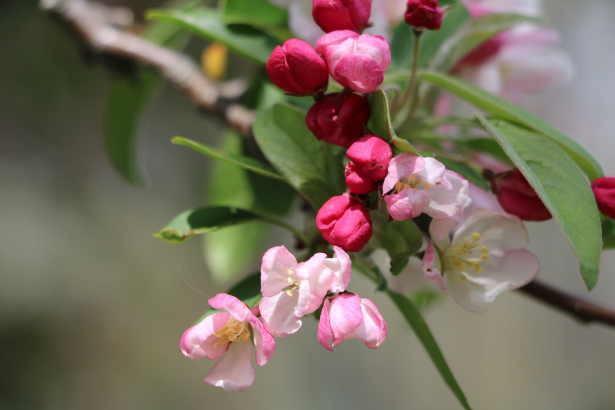 Apple Blossom. Photo by Jonathan Huggon.